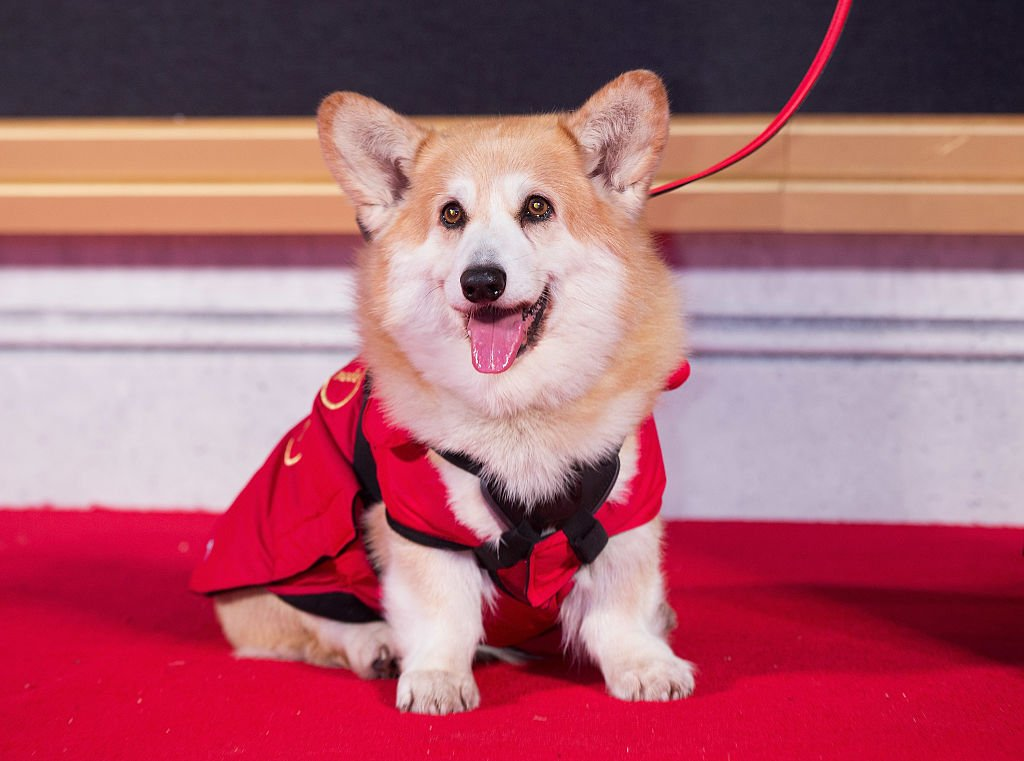 """Image Credits: Getty Images / Dave J Hogan   A corgi is seen on the red carpet at the World Premiere of new Netflix Original series """"The Crown"""" at Odeon Leicester Square on November 1, 2016 in London, England."""