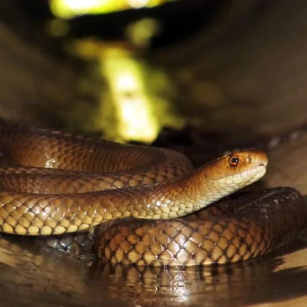 Image Credits: https://australianmuseum.net.au/learn/animals/reptiles/eastern-brown-snake/