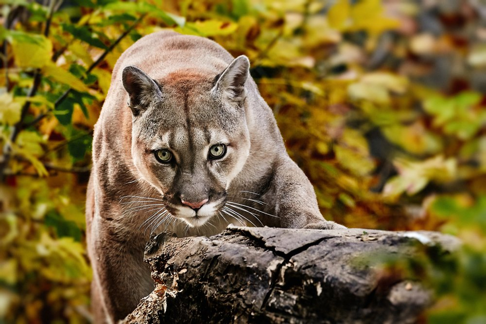American cougar - mountain lion in the woods | Getty Images / Global Images Ukraine