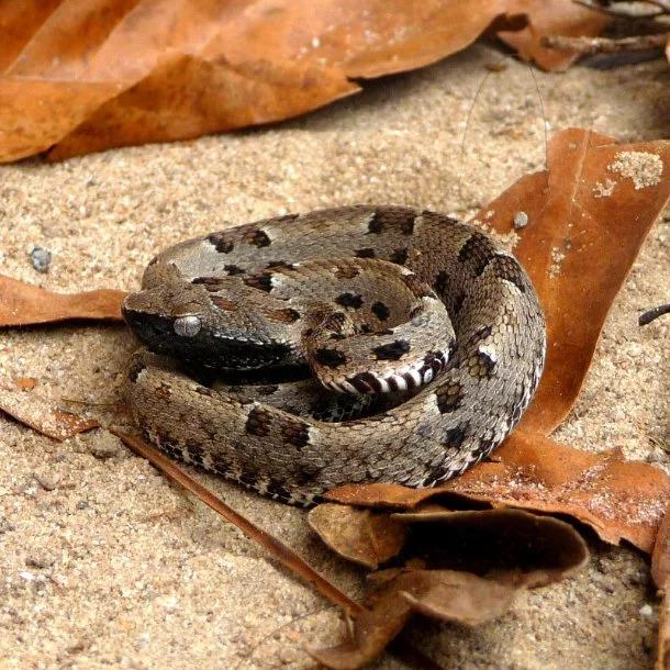 Image Credits: https://snake-facts.weebly.com/jararaca.html
