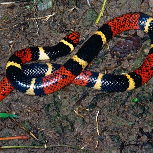 Image Credits: https://www.nationalgeographic.com/animals/reptiles/e/eastern-coral-snake/