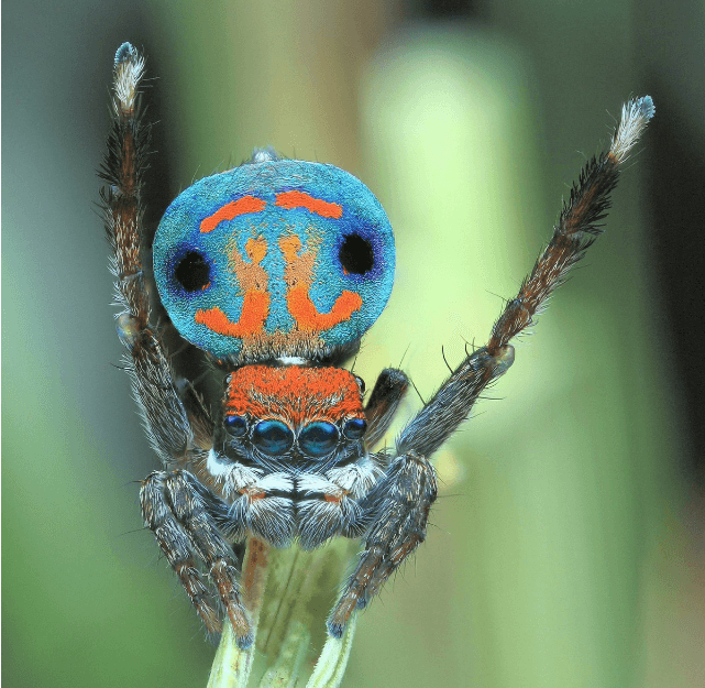 Créditos de imagen: twitter/Maratus_spider