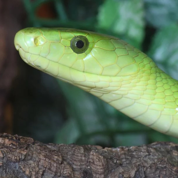 Image Credits: http://www.reptilesmagazine.com/Snake-Species/Green-Mamba/