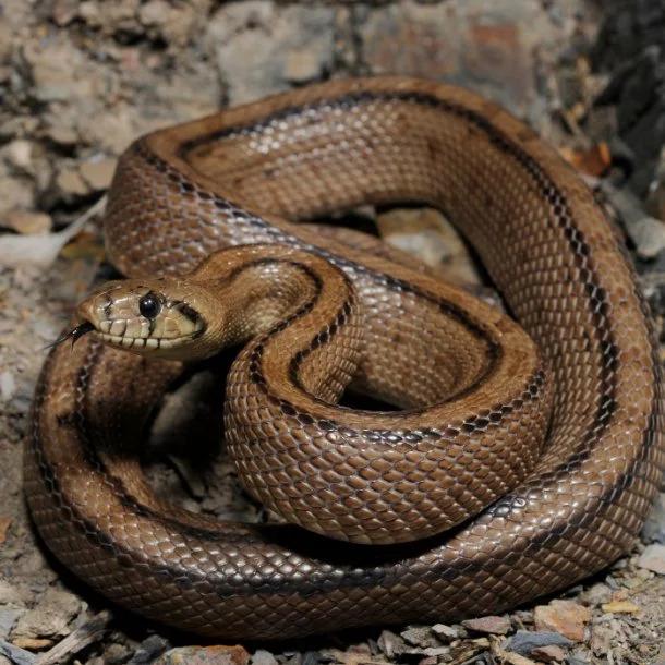 Image Credits: https://www.australiangeographic.com.au/topics/science-environment/2012/07/australias-10-most-dangerous-snakes/