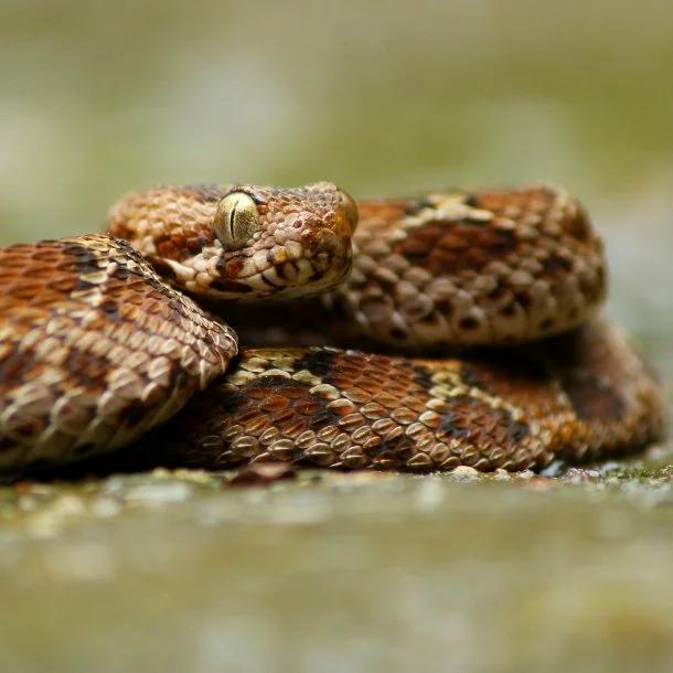 Image Credits: https://www.britannica.com/animal/saw-scaled-viper