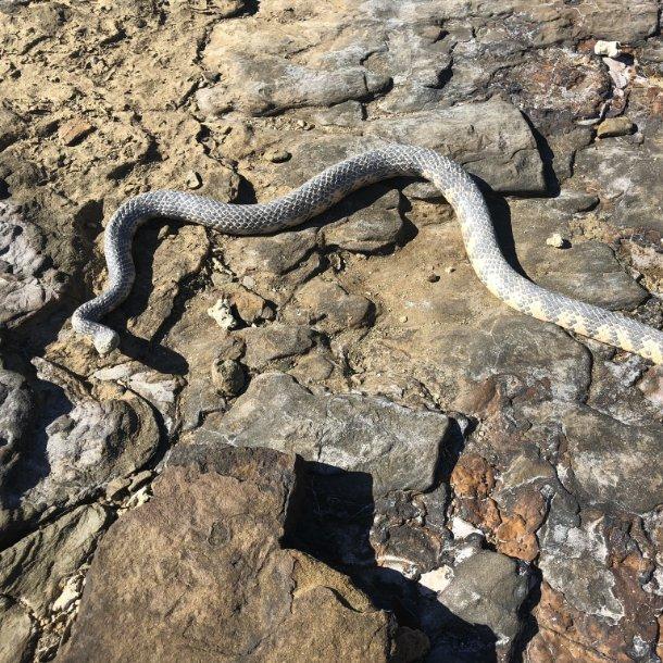Image Credits: https://www.arkive.org/reef-shallows-sea-snake/aipysurus-duboisii/