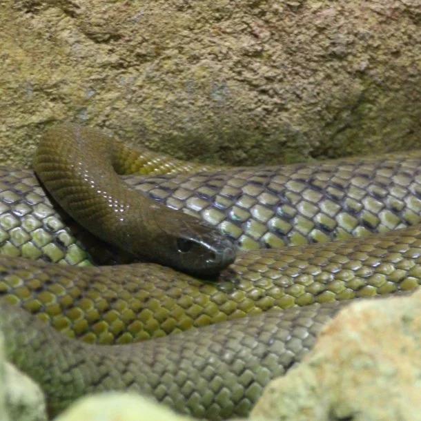 Image Credits: https://australianmuseum.net.au/learn/animals/reptiles/inland-taipan/