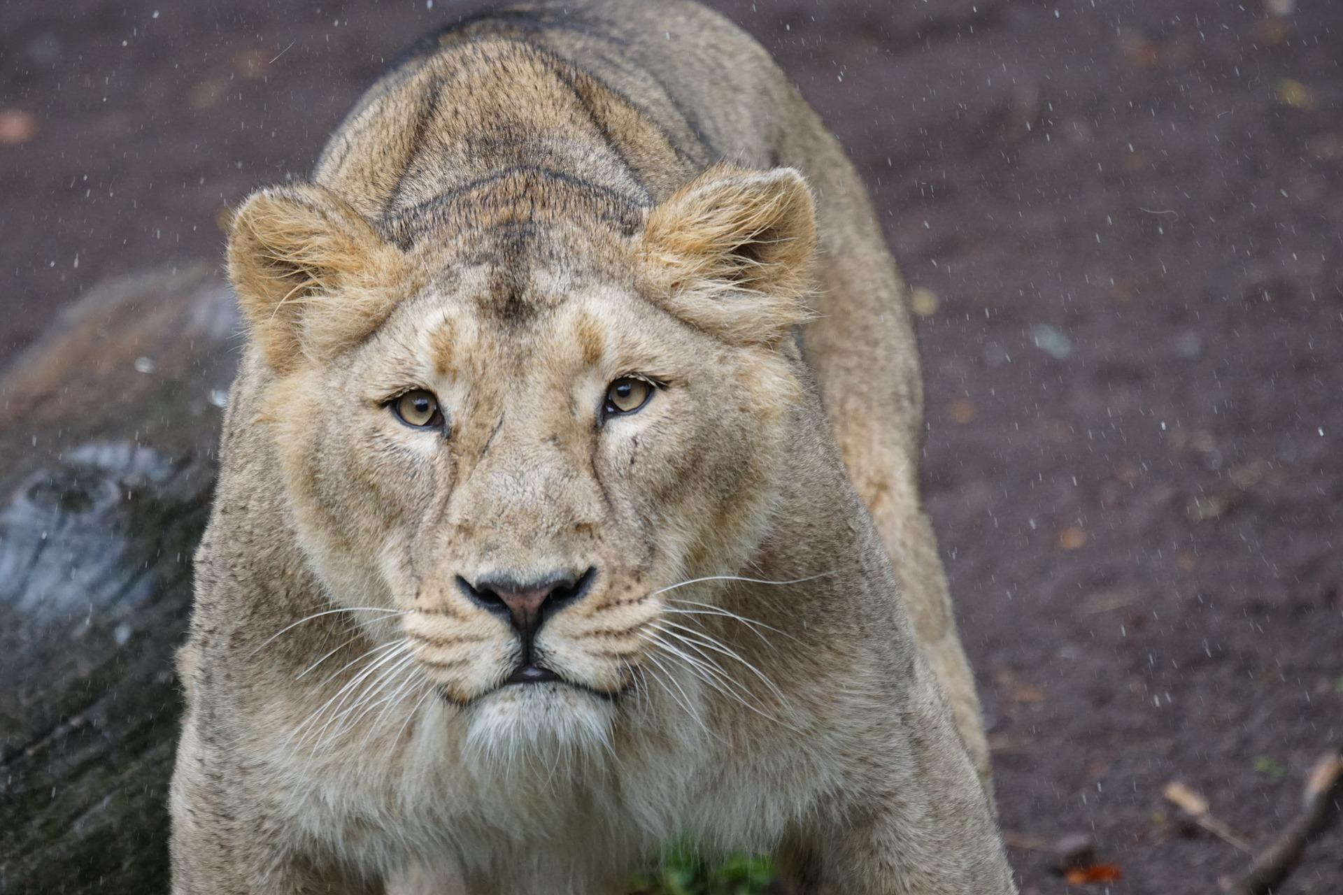 Lioness Sees Its Master 7 Years Later - Her Reaction Is Unbelievable