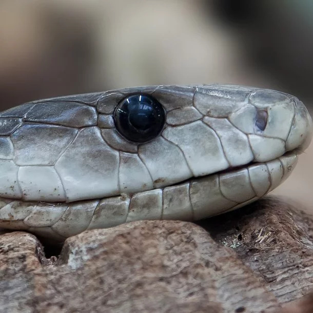 Image Credits: https://list25.com/25-of-the-worlds-most-venomous-snakes/4/