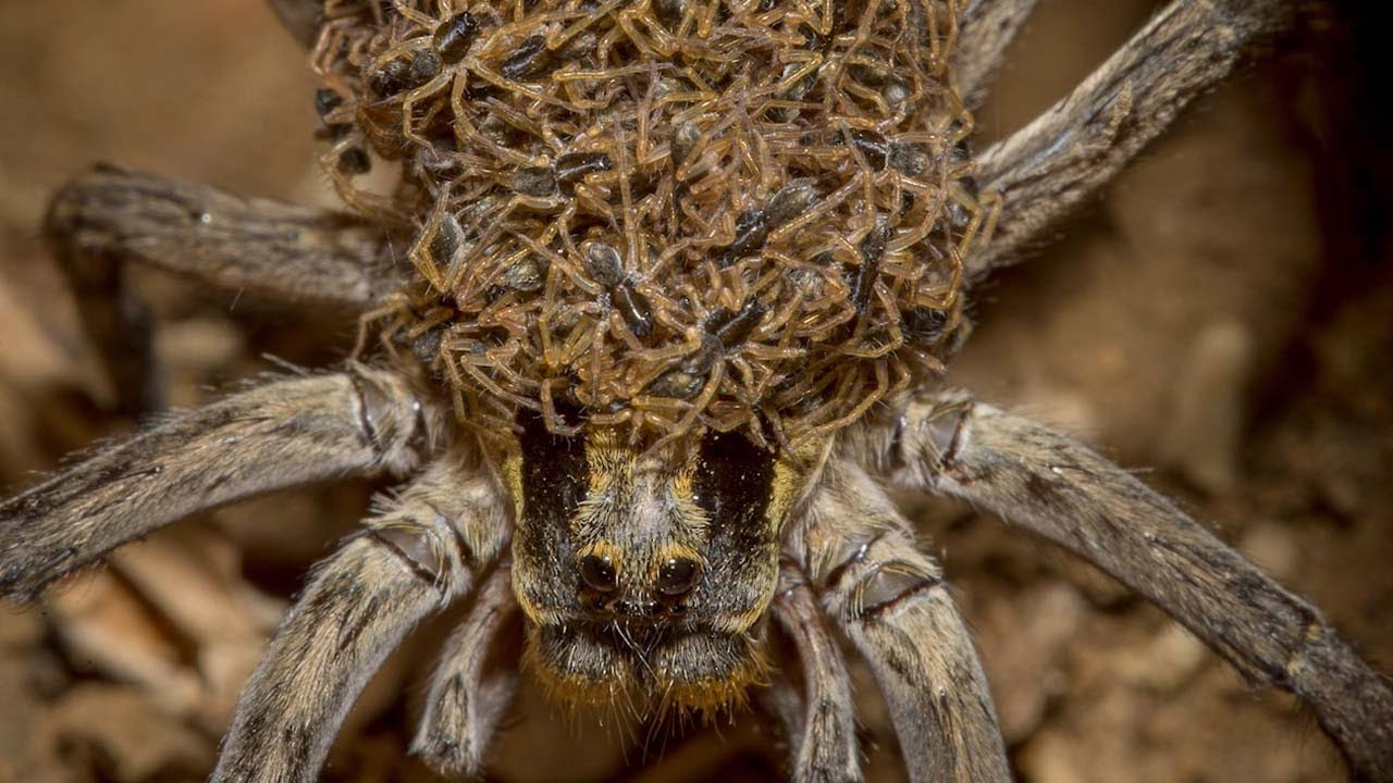 Wolf spider with babies. Image Source: YouTube/Caters Clips