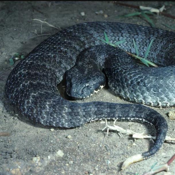Image Credits: https://www.untamedscience.com/biodiversity/death-adder/