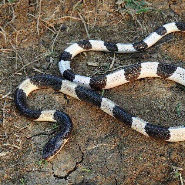 Image Credits: https://snake-facts.weebly.com/blue-krait.html