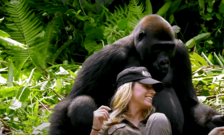 Introducing His Wife To Gorillas