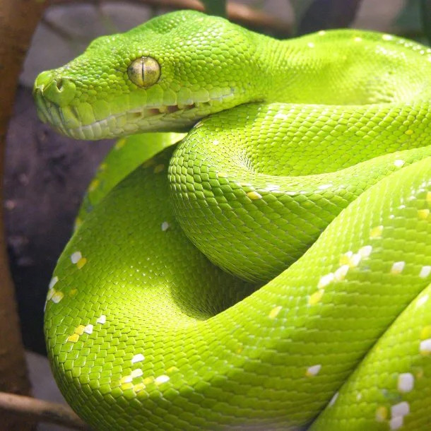 Image Credits: http://blogs.discovermagazine.com/science-sushi/2015/11/02/what-it-feels-like-to-die-of-a-boomslang-bite/#.XFTO2VxKiUk